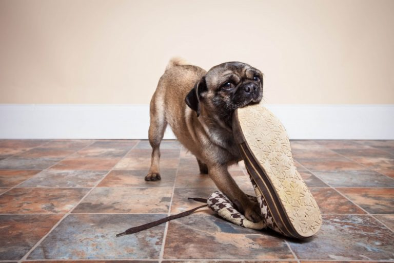 dog chewing on shoe