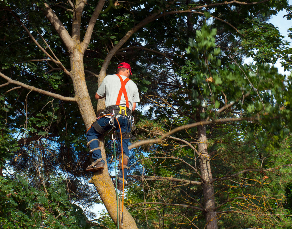 person pruning tree